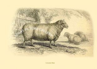 Leicester Ram